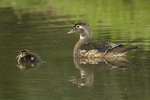 Adult female Wood Duck (Aix sponsa) with duckling in mid-June.