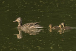 Mallard (Anas platyrhynchos) hen with ducklings in late June.