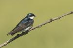 Tree Swallow (Tachycineta bicolor) in mid-June.