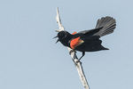 Adult male Red-winged Blackbird (Agelaius phoeniceus) displaying in mid-June.
