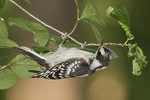 Juvenile female Downy Woodpecker (Picoides pubescens) in early July.