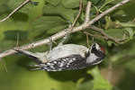 Juvenile male Downy Woodpecker (Picoides pubescens) in early July.