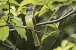 Singing Great Crested Flycatcher (Myiarchus crinitus) in early July.