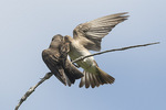 Adult Northern Rough-winged Swallow (Stelgidopteryx longipennis) feeds fledgling in early July.