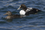 Common Eiders (Somateria mollissima) in mid-March, an immature male at right.