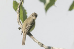 Willow Flycatcher (Empidonax traillii) in early July.