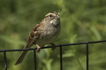 White-throated Sparrow (Zonotrichia albicollis) in early July.