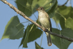 Adult Willow Flycatcher (Empidonax traillii) in early July.