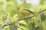 Immature Yellow Warbler (Setophaga petechia) in early July.