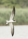 Black skimmer (Rynchops niger) in early July.