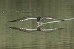 Black skimmer (Rynchops niger) in early July.