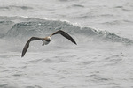 Immature Brown Booby (Sula leucogaster) in late July.