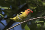 Adult male Western Tanager (Piranga ludoviciana) in mid-July.
