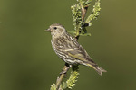 Pine Siskin (Spinus pinus) in mid-July.