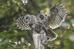 Juvenile Barred Owl (Strix varia) displacing perched adult.