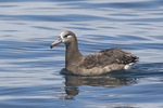 Black-footed Albatross (Phoebastria negripes) in late July.