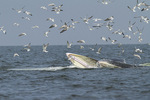 Bryde's Whales (Balaenoptera brydei) feeding in early November.