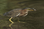 Immature Green Heron (Butorides virescens) with a fish it has caught on fall migration in early September.