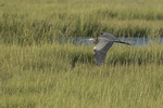 Great Blue Heron (Ardea heriodias) in flight over salt marsh in late August.