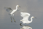 One Snowy Egret (Egretta thula) displaces another in late August.