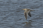 Short-billed Dowitcher (Limnodromus griseus) in flight in late August on fall migration.