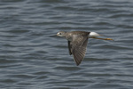 Lesser Yellowlegs (Tringa flavipes) in flight in late August on fall migration.