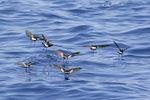 Wilson's Storm-Petrel (Oceanites oceanicus) flock foraging in late August.
