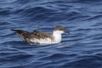 Great Shearwater (Ardenna gravis) in late August.
