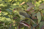 Female Scarlet Tanager (Piranga olivacea) feeding on Pokeweed berries on fall migration in mid-September.