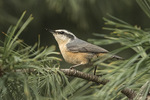 Red-breasted Nuthatch (Sitta canadensis) in mid-September.