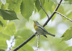 Female Northern Parula (Setophaga americana) in mid-September on fall migration.