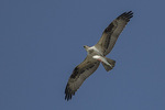 Osprey (Pandion haliaetus) carrying Mossbunker or Menhaden (Brevoortia sp.) in mid-September.