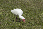 White Ibis (Eudocimus albus) in breeding plumage feeding on a lawn in early March.