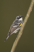 Yellow-rumped Warbler (Setophaga coronata) on spring migration in early May.