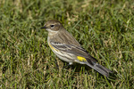 Yellow-rumped Warbler (Setophaga coronata) on lawn on fall migration in early October.