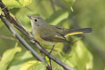 Adult female American Redstart (Setophaga ruticilla) in mid-September on fall migration.