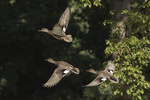 Gadwall (Mareca strepera) in flight, female above, males below, in mid-September.