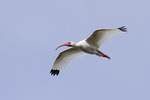 Adult White Ibis (Eudocimus albus) in flight in mid-March.
