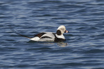 Adult male Long-tailed Duck (Clangula hyemalis) in winter plumage in mid-January.