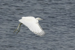 Immature Little Blue Heron (Egretta caerulea) in flight in late August.