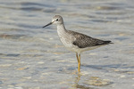 Lesser Yellowlegs (Tringa flavipes) on fall migration in late August.