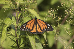 Male Monarch (Danaus plexippus) in late September.