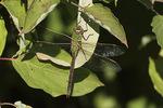 Female Green Darner (Anax junius) in late September.