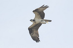 Osprey (Pandion haliaetus) in flight with Mossbunker (Brevoortia sp.) in late September.