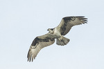 Osprey (Pandion haliaetus) in flight in late September.