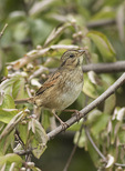 Swamp Sparrow (Melospiza georgiana) on fall migration in early October.