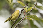 Female Yellow Warbler (Setophaga petechia) in early October on fall migration.