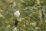 Yellow-billed Cuckoo (Coccyzus americanus) in early October on fall migration.