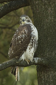 Immature Red-tailed Hawk (Buteo jamaicensis) in mid-October.