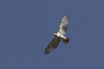 Immature Red-tailed Hawk (Buteo jamaicensis) in flight in mid-October.